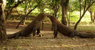 Fakta Pulau Komodo