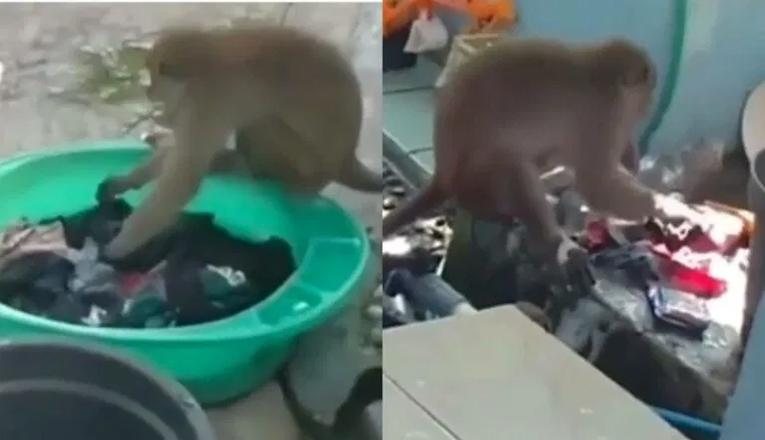 Video Monyet Cuci Pakaian Emak-emak di Kalimantan