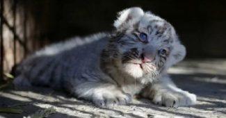 Bayi Harimau Putih Tewas Diduga Terjangkit Covid-19