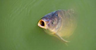 Ikan Mas Dianggap Hama di Australia Hingga Di Papua