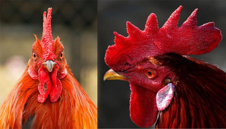 Model Sunat Jengger Ayam Kepuasan Seks, Apakah Benar?